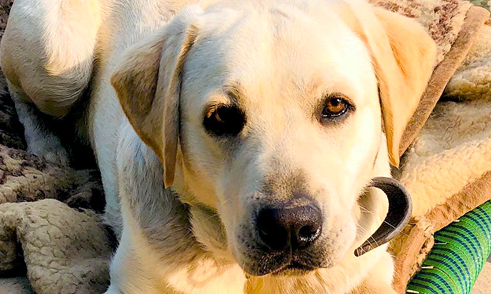 Duke, a yellow Labrador retriever, helped Maria grieve the loss of her mum.
