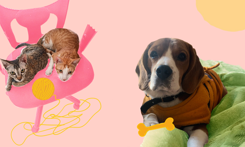 Image showing two cats, Noodles and Bubs, and a beagle dog, Cash, in a collage against a pink background